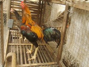 Kandang Battery untuk ayam kampung